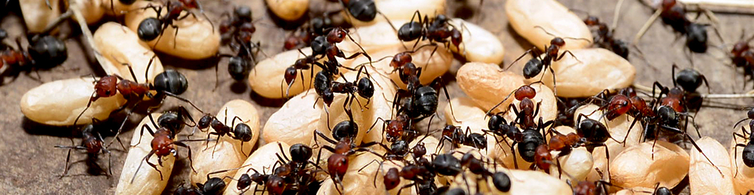Ants nest pest control Hull