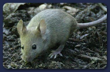 Mice Hull