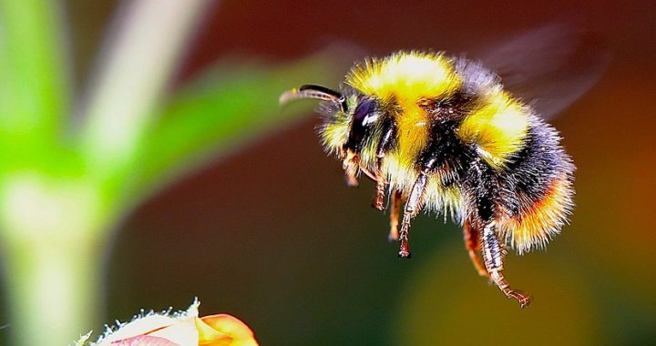 Bumble Bees are not a pest