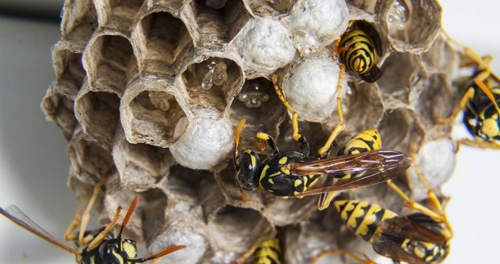 Wasps nests pest control Hull